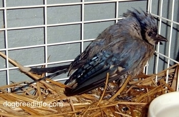baby Blue Jay inside of a cage