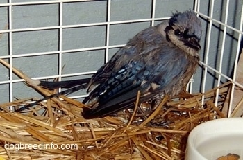 baby Blue Jay inside of a cage near a feeding bowl
