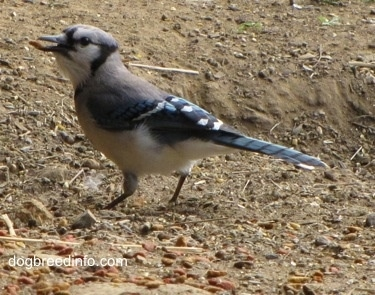 Blue Jay walking on dirt with a piece of cat food in its mouth