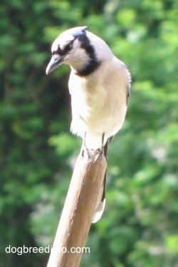 Blue Jay standing on a broom stick