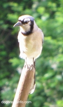 Blue Jay perched on a broom stick looking into the distance