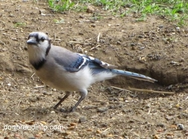 Blue Jay standing in dirt with a hole in the ground behind it