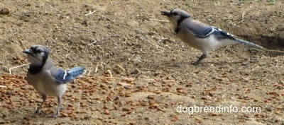 Two Blue Jays walking around on dirt