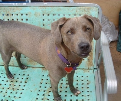 Texas Blue Lacy Game Dog