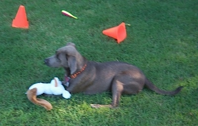 Texas Blue Lacy laying in a field with a plush toy in front of it and orange cones behind it