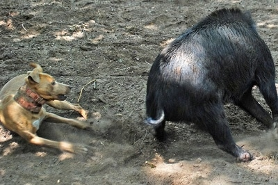 A medium-sized tan with white dog is skidding sideways near a hog that is much larger than the dog.