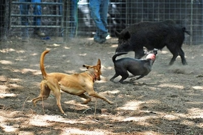 Sadie the Blue Lacy and Brutus the Red Lacy running around a pen herding a boar