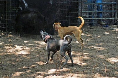 Sadie the Blue Lacy and Brutus the Red Lacy barking at a boar