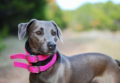 Upper body side view - A silver Blue Lacy dog is standing outside and it is looking to the right. It is wearing two thick hot pink collars.