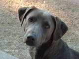 Close Up - Lola the Blue Lacy's face
