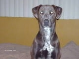 Close Up - Lola the Blue Lacy sitting on a bed