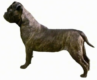 Bonsai Bulldogge Dog Breed Information And Pictures