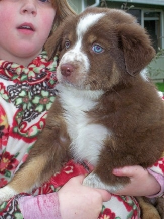 Border-Aussie Puppy (Border Collie / Australian Shepherd Hybrid).