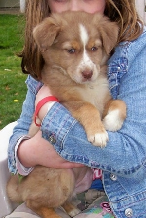 Close up - The right side of a tan with white Border-Aussie puppy that is  being hugged by a little girl