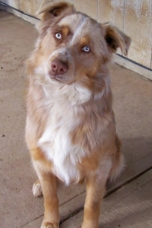 Adult Border-Aussie sitting on a porch with its head tilted to the right