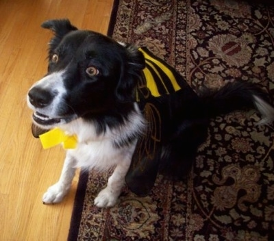 Billie the Border Collie sitting on a rug with a bee costume on and her mouth slightly open
