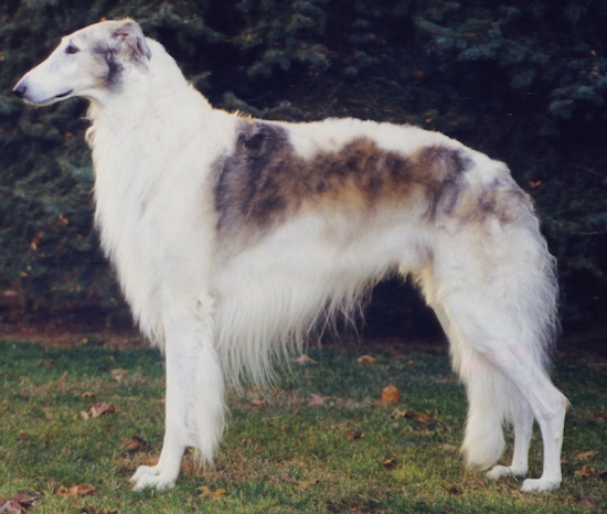 Right Profile - Borzoi standing outside in grass