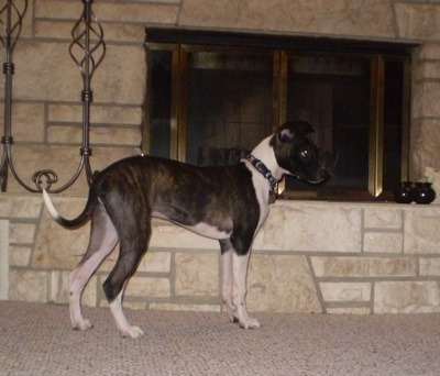 The right side of a brindle with white Bostalian puppy that is standing on a carpet and in front of a fireplace.