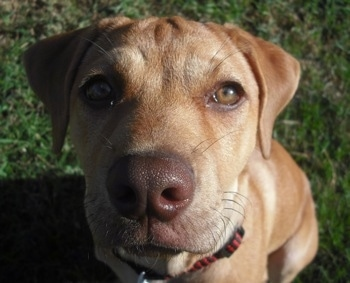 Close Up head shot - Faith the Boxador Puppy sitting outside in grass