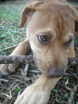 Close Up - Faith the Boxador puppy laying outside with a stick in its mouth