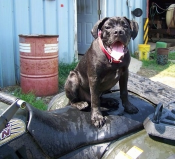 Boxador Dog Breed Pictures, 2