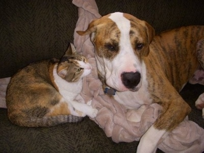 This is our Boxer/Great Dane Sonny with our new kitty Peanut Butter.