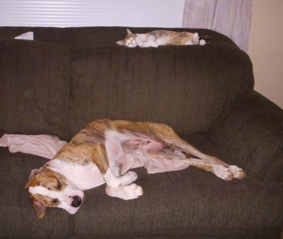 The left side of a brindle with white Boxane that is sleeping on it side, on a couch and there is a Cat sleeping at the top of a couch, on its side also.
