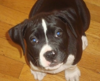 Butkus the Boxapoint hybrid as a puppy.