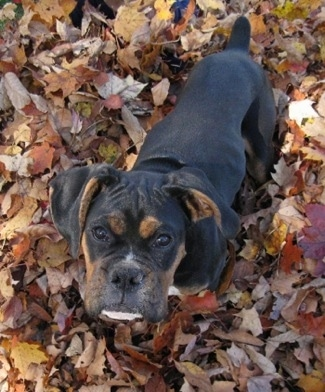 Loomis the Boxer puppy standing in a pile of leaves and looking up at the camera holder