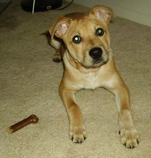 The front right side of a tan Boxita puppy that is laying on a carpet and next to it is a dog bone.