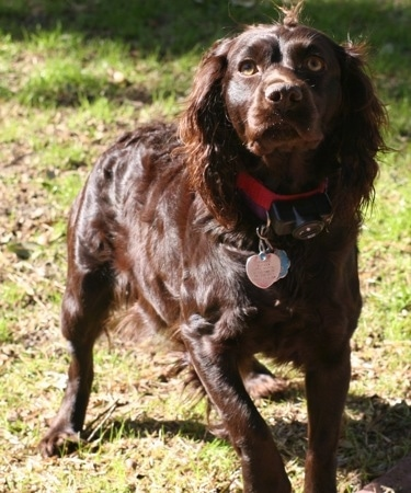 Daisy the Boykin Spaniel walking across the lawn towards the camera holder