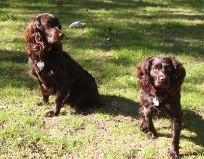 Jackson the Boykin Spaniel in the yard looking over at Daisy the Boykin Spaniel who is looking and walking towards the camera holder