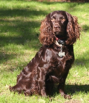 A shiny coated brown dog with ears that hang to the sides with long wavy hair on them and light brown almond shaped eyes sitting down outside in the grass