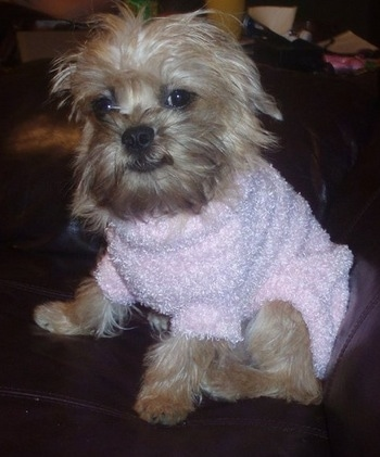 Gabrielle the Broodle Griffon puppy wearing a pink sweater on a leather couch