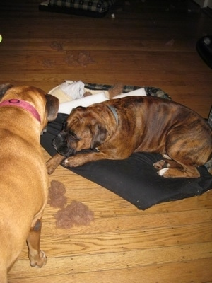 Bruno the Boxer laying on a dog bed and Allie the Boxer staning next to it