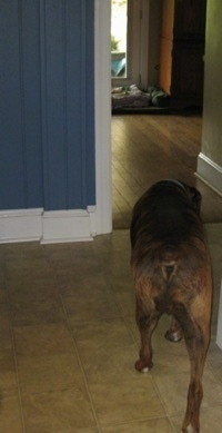 Bruno the Boxer walking out of a kitchen