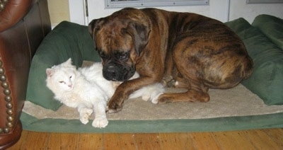 Kung Foo Kitty cuddling with Bruno the Boxer in his dog bed