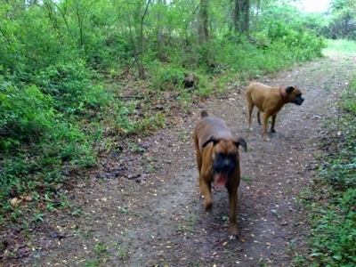 Bruno the Boxer is running down a trail with his tongue out. Allie the Boxer looking into the trees