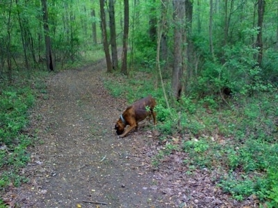 Bruno the Boxer walking down a trail in the woods