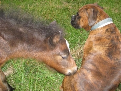 Budweiser the Young Colt smelling Bruno the Boxers bottom area