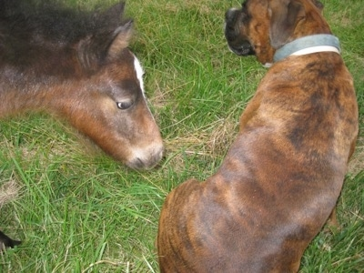 Budweiser the young colt approaching Bruno the Boxer