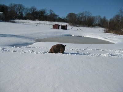 Bruno the Boxer digging in the snow with a pond and horse run in sheds in the distance