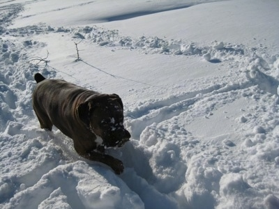 Bruno the Boxers face is covered in snow