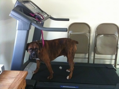 Bruno the Boxer standing on the treadmill looking at the camera holder