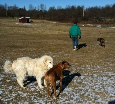 Tacoma the Great Pyrenees is sniffing Allie the Boxer and Bruno the Boxer is walking far ahead beside a person