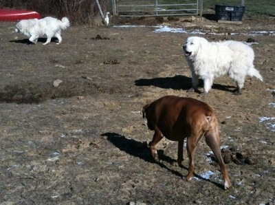 Bruno the Boxer sniffing around the ground Tundra the Great Pyrenees is standing in the mud Tacoma the Great Pyrenees is walking around