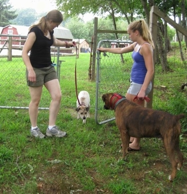 Maggie coming through the gate after the human with Bruno the Boxer and Amie watching