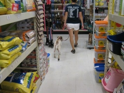 Maggie the Jack Russell mix walking the pet store aisles with its owner