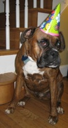 Bruno the Boxer sitting near a staircase wearing a birthday hat