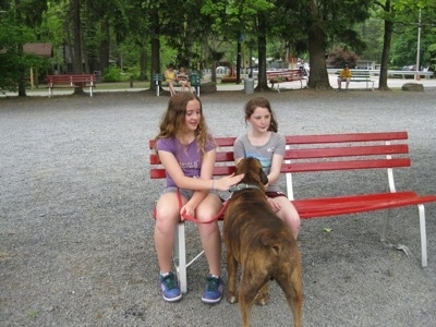 Bruno the Boxer getting pet by Sara and her friend